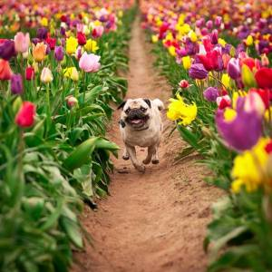 happy tulip pug